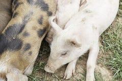 Kleine varkens op een landbouwbedrijf Stock Afbeeldingen