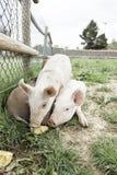Kleine varkens op een landbouwbedrijf Royalty-vrije Stock Foto