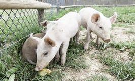 Kleine varkens op een landbouwbedrijf Royalty-vrije Stock Foto's