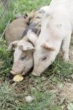 Kleine varkens op een landbouwbedrijf Stock Foto's