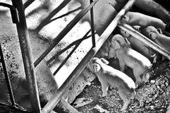 Kleine varkens in zwart-wit Stock Fotografie