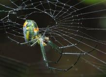Kleine Venusta-Obstgarten-Spinne, die von ihr ` s Netz hängt Stockfoto
