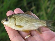 Kleine vissen op een hand Stock Foto's