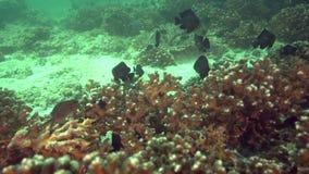 Kleine vissen op hard koraal in de golf van Fujairah de V.A.E Oman stock videobeelden