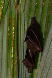 Kleine vleerhonden, Penang, Maleisië Royalty-vrije Stock Foto