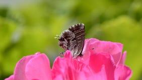 Kleine vlinder Royalty-vrije Stock Afbeeldingen
