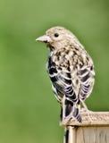 Kleine vogel Royalty-vrije Stock Afbeeldingen