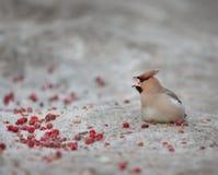Kleine vogel in de koude winter Royalty-vrije Stock Foto's