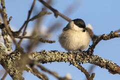 Kleine vogel - Marsh Tit Poecile-zonde Paruspalustris Stock Foto