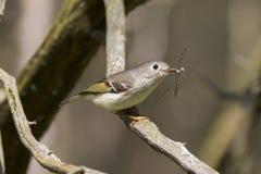 Kleine vogel met gele vleugels die bijvoegselprooi in zijn bek in het bos vangen Stock Fotografie