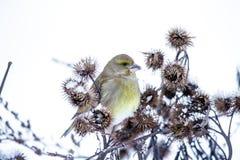 Kleine vogel op een tak in de winter Royalty-vrije Stock Foto's