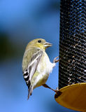 Kleine Vogel op een voeder stock foto's