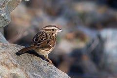Kleine vogel op rotsen Royalty-vrije Stock Fotografie