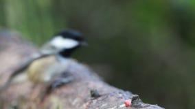 Kleine vogel, vogels tijdens de vlucht BIF, die vliegen, terwijl het voeden van hand en tak, steenkoolmees, koolmees, Periparus a stock videobeelden