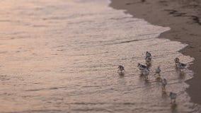 Kleine vogels op het strand stock video