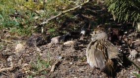 Kleine vogelzitting in vuil in yard stock footage