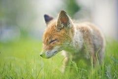 Kleine vos Stock Afbeelding