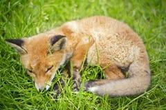 Kleine vos Stock Afbeeldingen