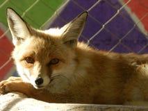 Kleine vossen in dierentuin royalty-vrije stock afbeelding