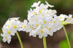 Kleine vrij witte bloemen Stock Foto's