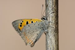 Kleine vuurvlinder, Small Copper, Lycaena phlaeas stock image