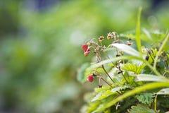 Kleine Walderdbeeren im Garten Lizenzfreie Stockfotos