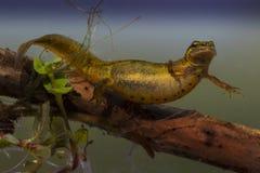 Kleine Watersalamander, triton lisse, Lissotriton vulgaris images stock
