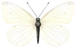 Kleine weiß- Pieris rapae lizenzfreie abbildung