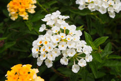 Kleine weiße Blume Lizenzfreie Stockfotos