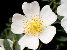Kleine weiße Blume lizenzfreies stockbild