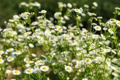 Kleine weiße Blume an der Straßenseite Stockfoto