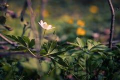 Kleine weiße Blume im Frühjahr gefunden in der dichten Vegetation einer Waldzeit geschossen mit einer Makrolinse lizenzfreies stockbild