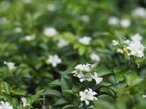 Kleine weiße Blume mit grünen Blättern Stockbild
