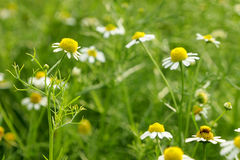 Kleine weiße Blumen Stockfotografie