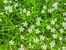 Kleine weiße Blumen Lizenzfreie Stockfotografie