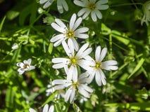 Kleine weiße Blumen Stockbild