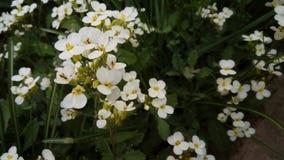 Kleine weiße Blumen Stockfoto