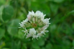 Kleine weiße Blumen auf einem grünen Gebiet lizenzfreies stockbild