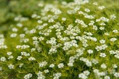 Kleine weiße Blumen auf einem grünen Hintergrund stockfotografie