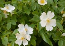 Kleine weiße Blumen auf grünem Hintergrund lizenzfreies stockbild
