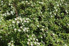 Kleine weiße Blumen auf Niederlassungen von Cotoneaster horizontalis Stockfotografie