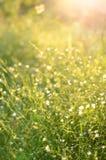 Kleine weiße Blumen in den Sonnenunterganglichtern Lizenzfreies Stockfoto