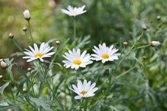Kleine weiße Blumen in der Natur stockbild