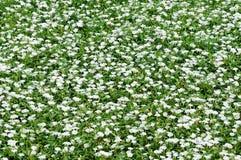 Kleine weiße Blumen des Reinweißes Lizenzfreies Stockfoto