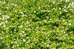 Kleine weiße Blumen in einem Garten Lizenzfreie Stockfotos