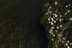 Kleine weiße Blumen im Fluss Stockbild
