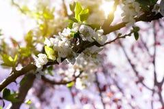 Kleine weiße Blumen im Frühjahr Lizenzfreies Stockbild