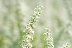 Kleine weiße Blumen in weichem fokussiert stockbild