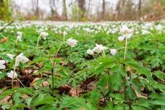 Kleine weiße Bodenbedeckung blüht grüne Blatt-dichtes Makro Dep Lizenzfreies Stockfoto