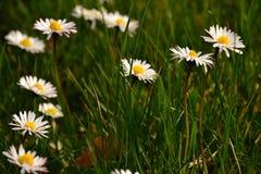 Kleine weiße Gänseblümchen Stockbild